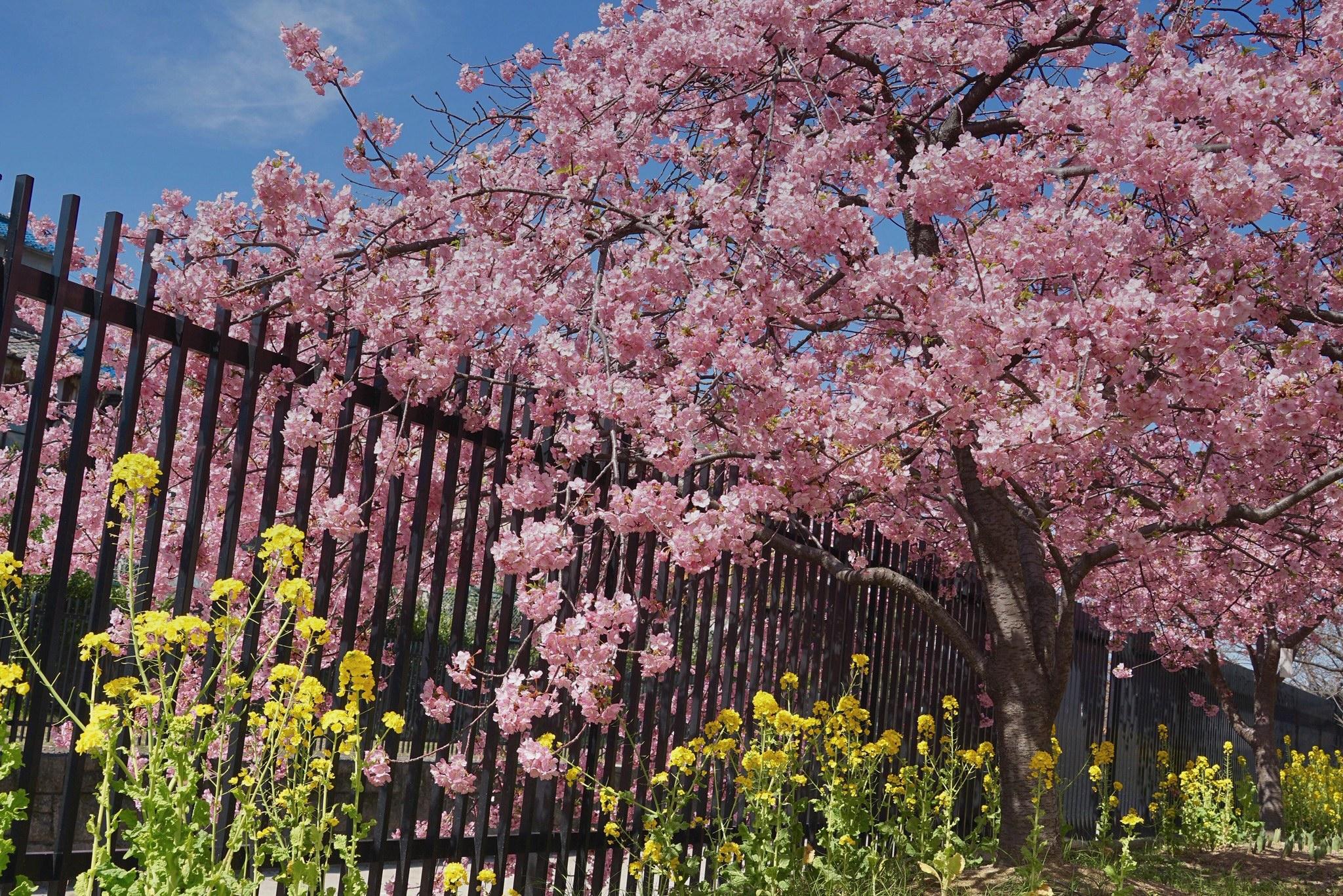 京都早春绝佳赏樱地--伏见淀水路