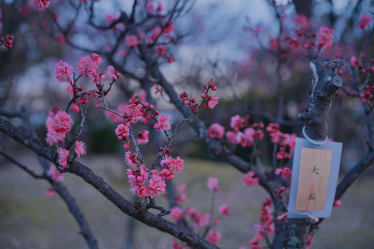 言わずと知れた京都梅の穴場--梅小路公園